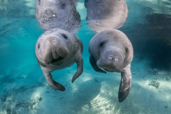 image of manatees found exploring around the marina