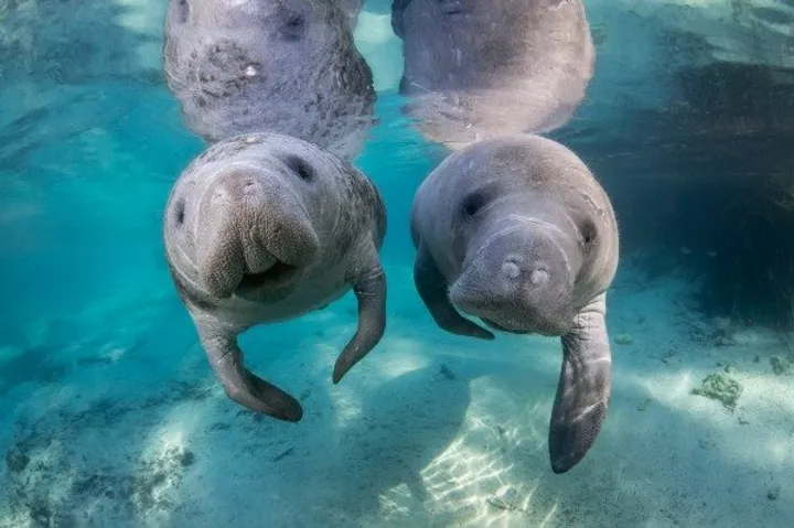Image of two manatees swimming side by side in Crystal River, Florida.